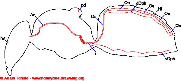 Circulatory system of honey bee