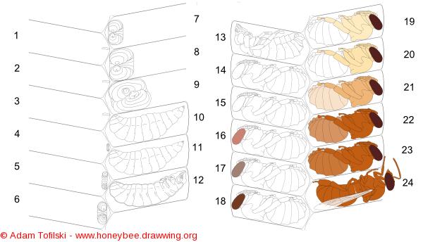 honey bee drone development