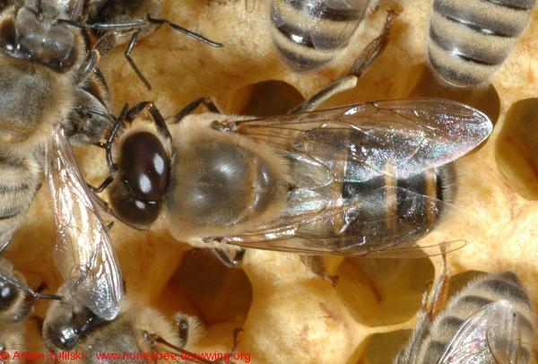 honey bee drone