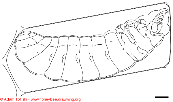 honey bee, prepupa