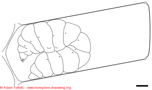 honey bee, spinning larva