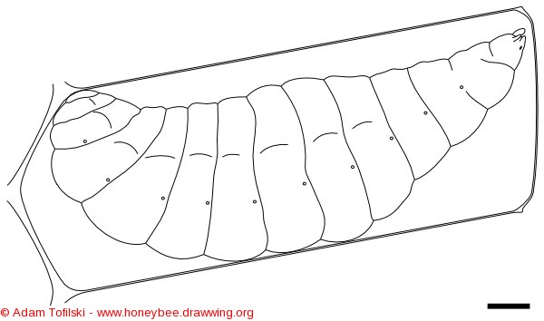 honey bee, stretched larva