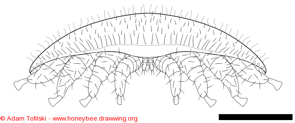 varroa, front view