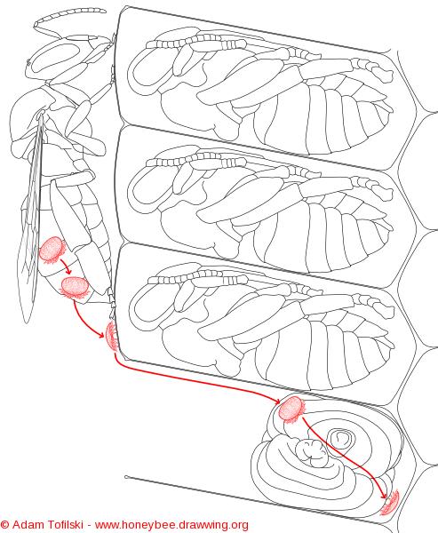 varroa, entering cell