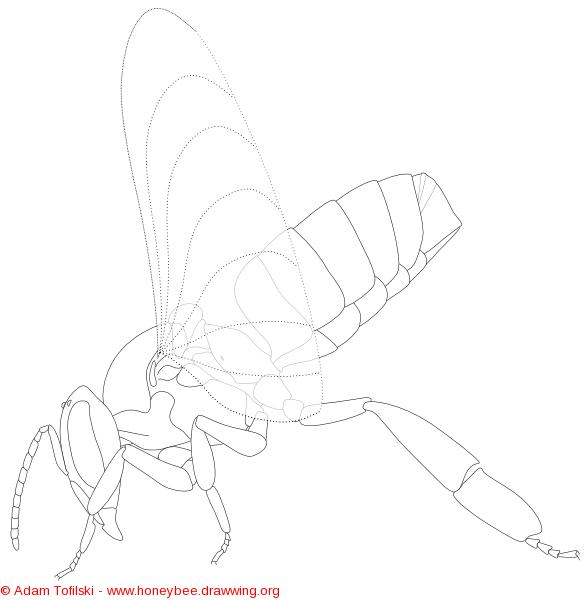 Honey bee worker with Nasonov gland exposed