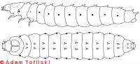 Small hive beetle, larva