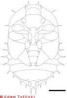 Small hive beetle, pupa