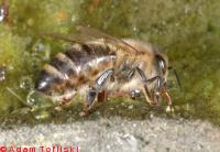 honey bee collecting water