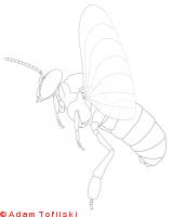 honey bee, drone in flight