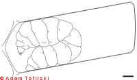 honey bee, spinning larva